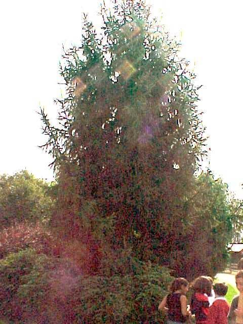 Le parc du moulin tan au fil des saisons - Sapin qui perd pas ses aiguilles ...